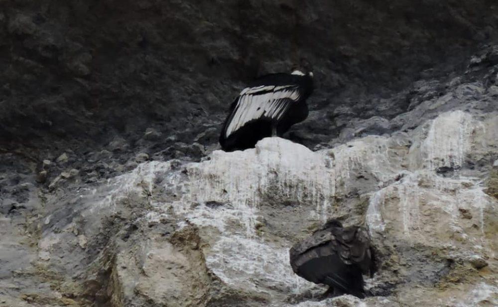 Muerte del tercer cóndor envenenado evidencia el peligro que enfrenta la especie en Colombia