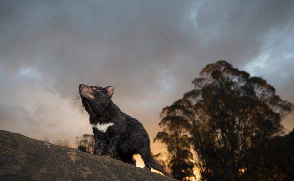 Después de 3.000 años, nacen demonios de Tasmania en Australia continental
