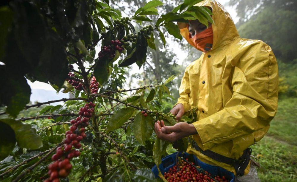 El trago amargo de los caficultores colombianos